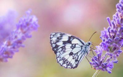 De bewezen voordelen van de geur van lavendel